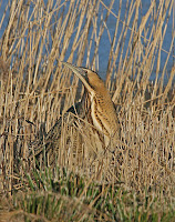 Bittern by Ron Marshall