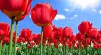 Ternyata Ternyata Bunga Tulip Itu Budidaya Warisan Kekhalifahan Usmani