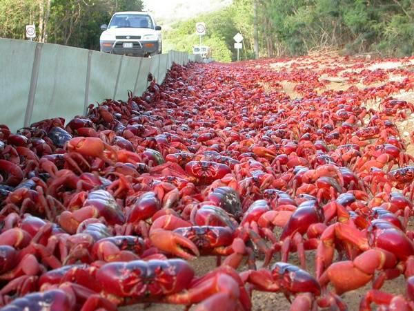 Resultado de imagen de cangrejo rojo australia