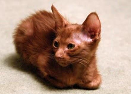 bulu rambut kucing rontok