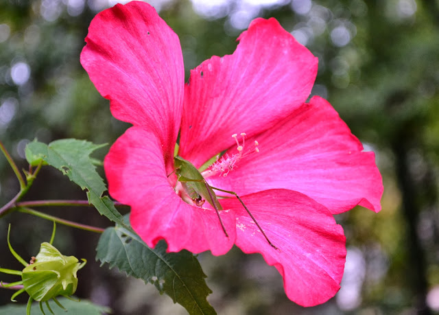 hardy hibiscus, katydid, http://growingdays.blogspot.com