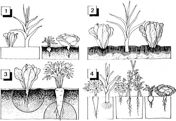 El huerto ecol gico de nuestro cole rotaci n y asociaci n for Asociacion de cultivos tomate
