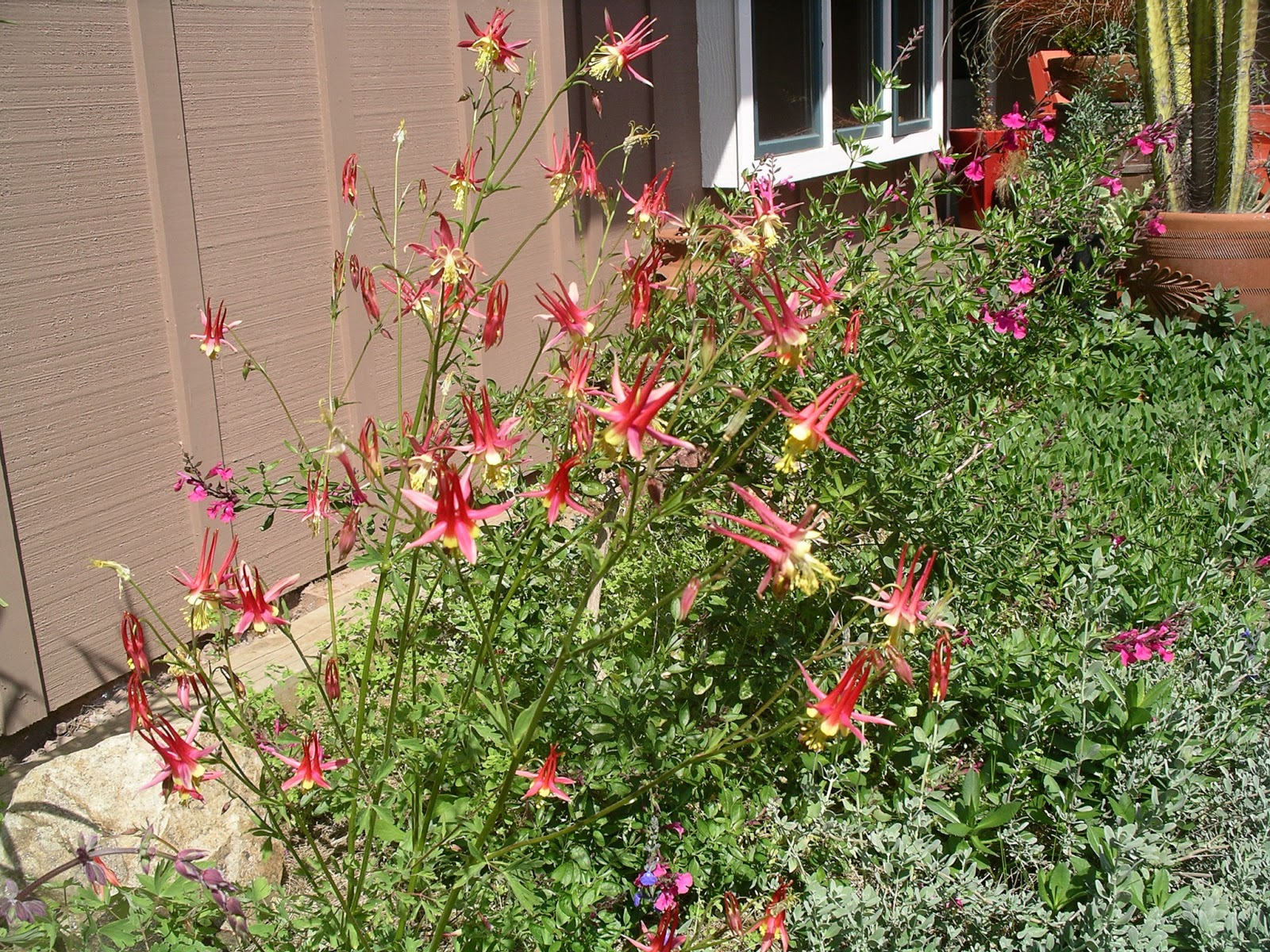 A california native plant garden in san diego county perennial herbs mightylinksfo
