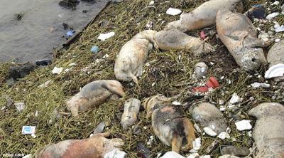 Mengapa Ada 1.200 Bangkai Babi Mengambang di Sungai China?