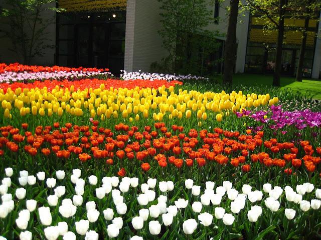 Ảnh đẹp cuộc sống: Bộ hình nền đẹp về cánh đồng hoa Tulip 13