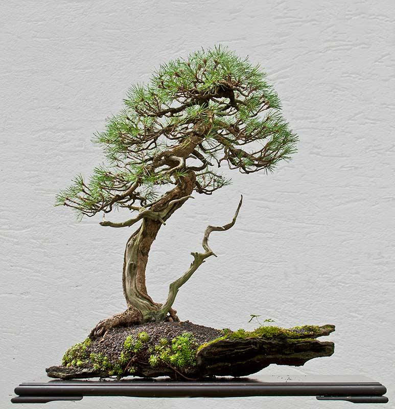 walter pall bonsai adventures mugo pine 1 on new slab. Black Bedroom Furniture Sets. Home Design Ideas