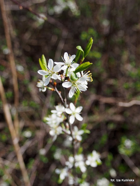 tarnina , orawa , wiosna , kwiaty
