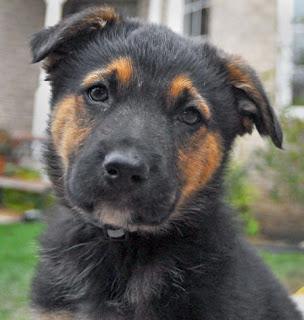German Shepherd Australian Shepherd Mix Puppies Big German Shepherds: ...