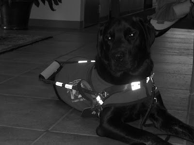 black/white picture of Rudy in a down-stay in harness/coat