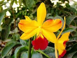 Si lo que deseas es sorprender a tu pareja y transmitirle la parte más erótica de vuestra relación, entonces las orquídeas amarillas son las ideales.