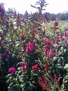 Pollinator-attracting flowers add joy and color to the 6-acre organic veg garden at Rancho La Puerta