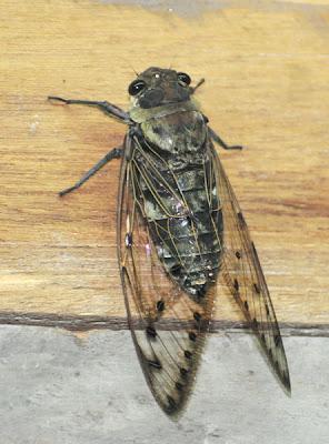 Six-o-Clock Cicada (Megapomponia merula)