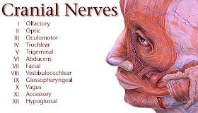 Cranial+nervus