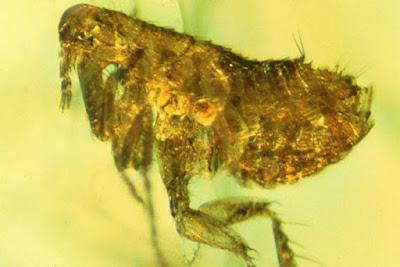 Fosil Kutu Kuno Pembawa Bakteri Wabah Black Death
