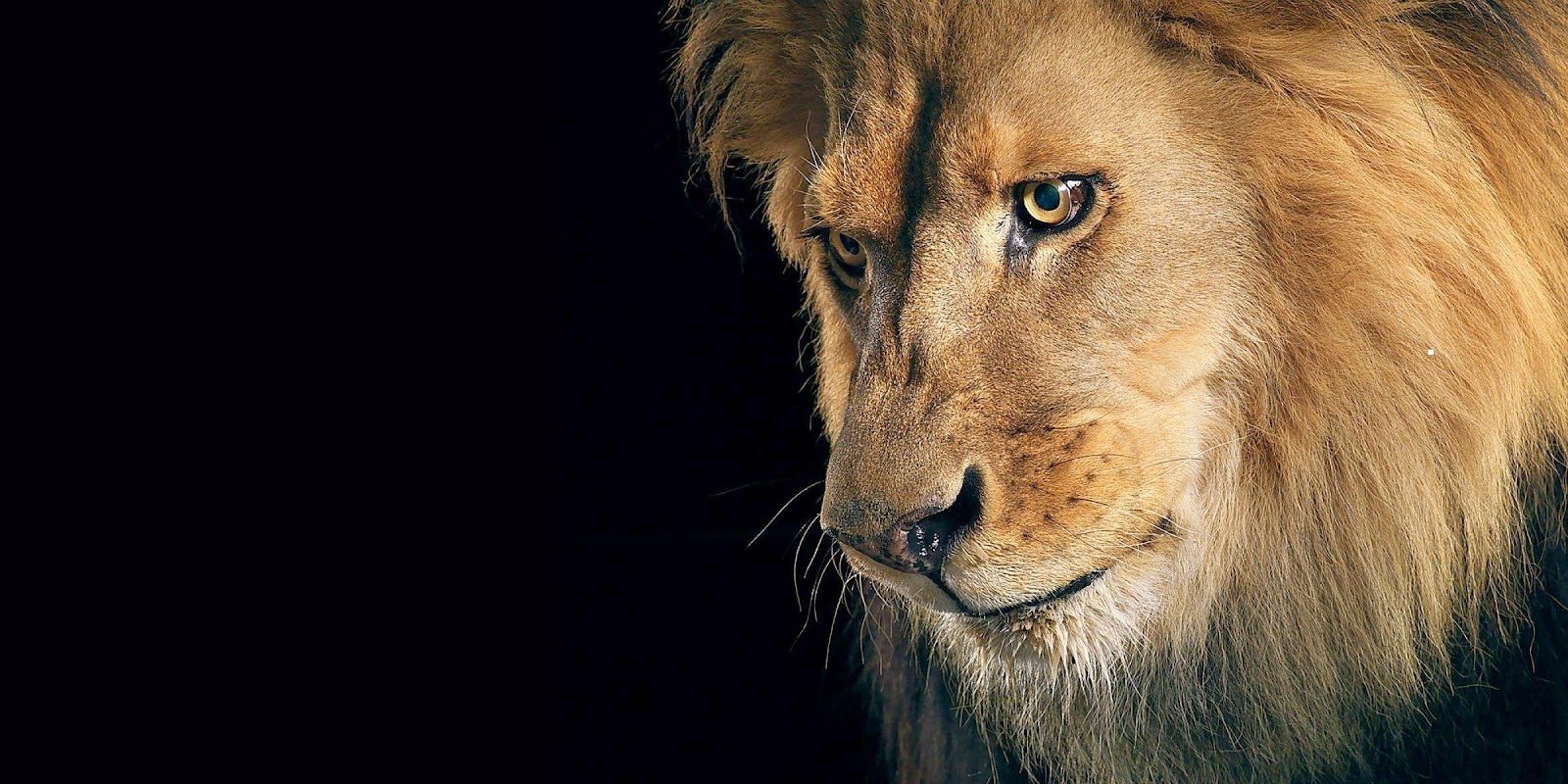 Sad Lion HD Wallpaper