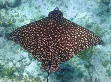 Eagle Ray - Fishes