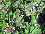 Purple Dead Nettle 2012m14