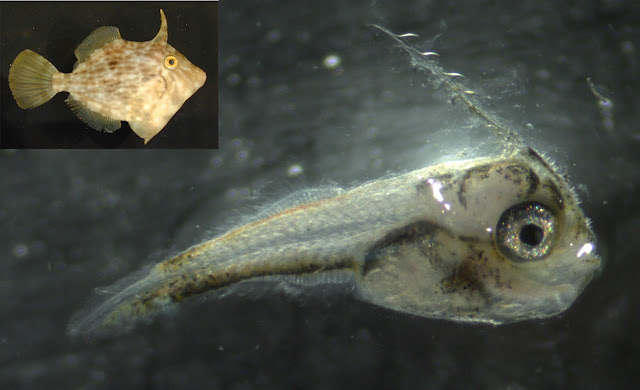 Filefish larvae