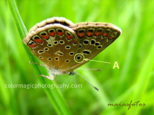 Female Common blue butterfly-wings' underside pattern