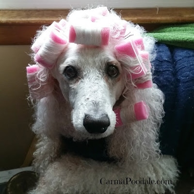 Carma Poodale,the poodle in pink curlers