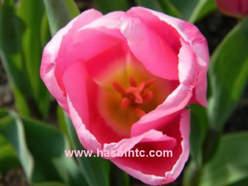 Mengenal Arti Bunga Tulip Berdasarkan Warnanya