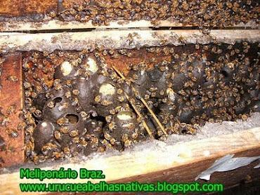 Potes de alimento de uruçu(colônia matriz)