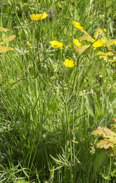 A Meadow Buttercup, Ranunculus acris, with a Malachite Beetle, Malachius bipustulatus.  Jubilee Country Park, 3 June 2013.