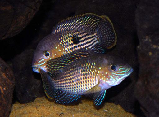 Peces y plantas ornamentales aequidens rivulatus terror for Reproduccion de peces ornamentales