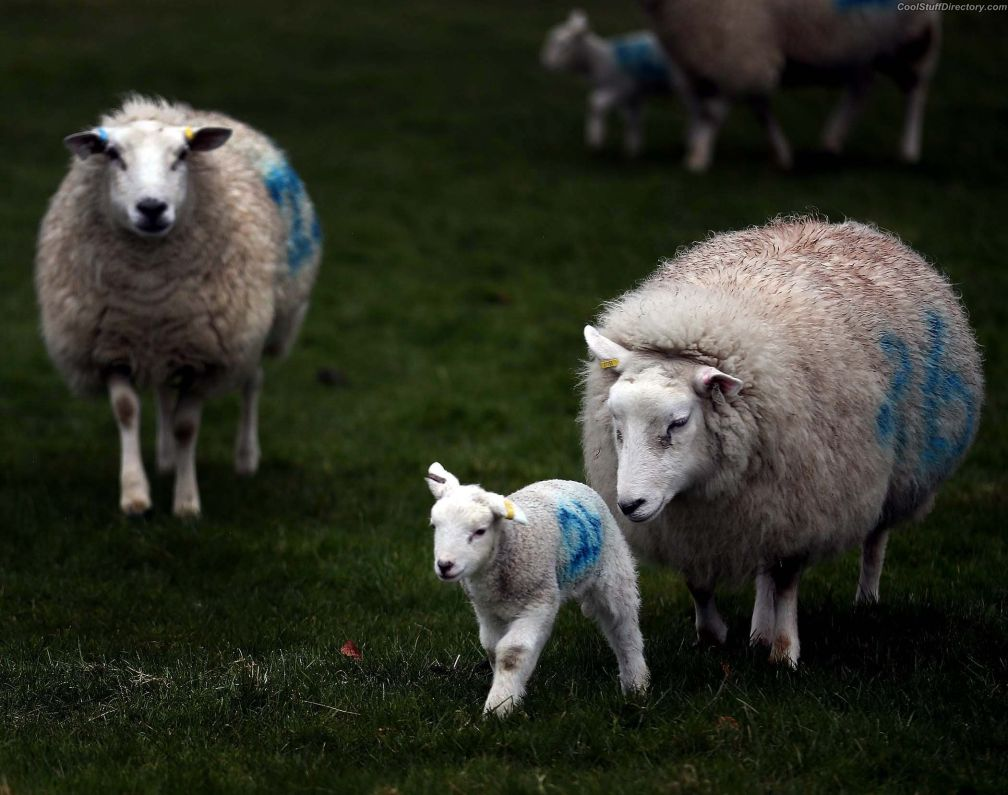 Lambs with their families walking in a field near the village of Eddington Wiltshire