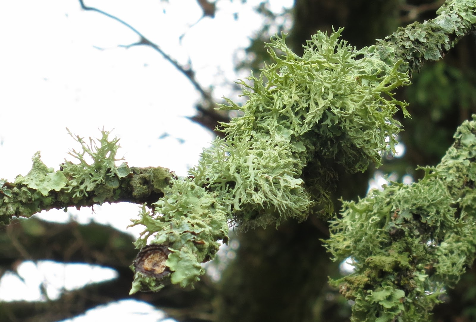 Feathery lichen on tree in the New Forest, Hampshire.