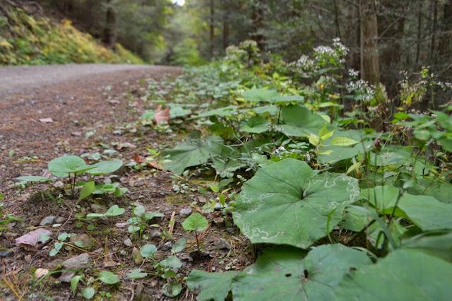 roadside coltsfoot patch