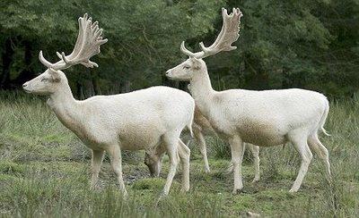 Cervo Albino - Albino Deer