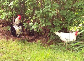 Will Chicken be a rare Sunday dinner?  – 11/20/11