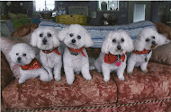 The Five Bichons!