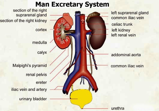 Biology diagramsimagespictures of human anatomy and physiology male urinary systemexcretary system ccuart Images