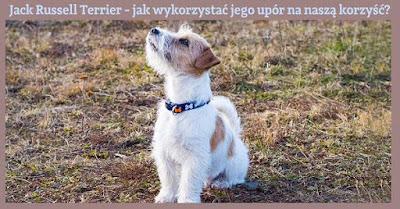 jack russell terrier wychowanie szczeniaka