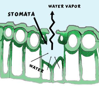 the water loss from leaves through stomata essay Water intake from the soil by plant root will ultimately lost to the atmosphere, through the stomata in the leaves the stomata are bordered by guard cells that open and close the pore the opening of the stomata to allow the gaseous exchange for photosynthesis, it also allows the loss of water from plant.
