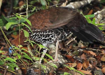 Crested Fireback (Lophura ignita)