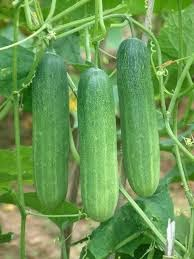 Cucumber Fruit The Property that Very Useful For Our Healthy