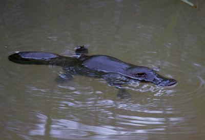 Platypus venom claw