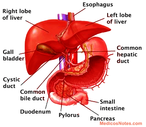 Functions Of Liver And Different Liver Function Tests