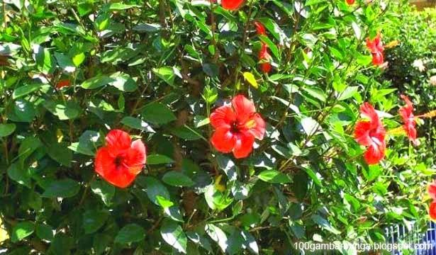 Ciri-ciri dan Morfologi Bunga Sepatu