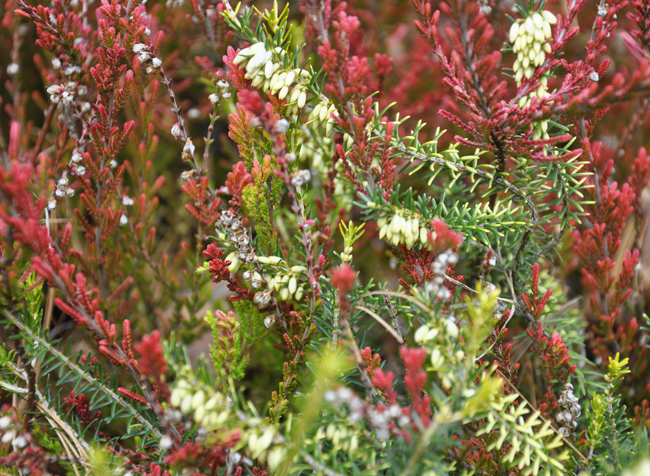 Growing With Plants Heaths And Heather The Uncommon Evergreens