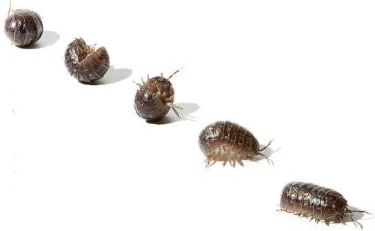 Mil recursos el bicho bola for Como combatir los bichos de la humedad