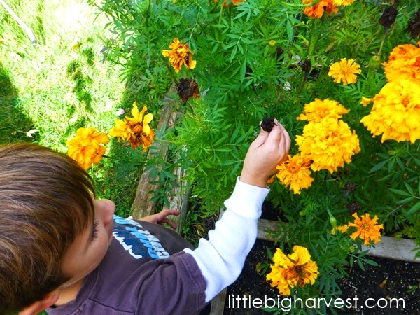little*big*harvest: How to Save Marigold Seed