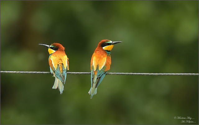 Arı Kuşu - Yaban Hayat Fotoğrafçısı Menderes ATAY