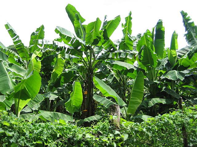 Plantain_Farming_in_Nigeria