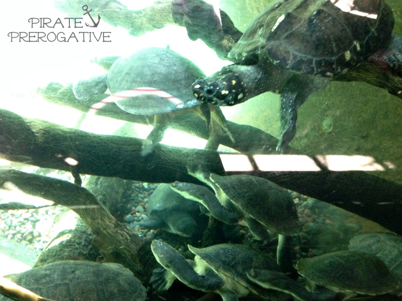 Turtles swimming at the San Diego Zoo. Love.