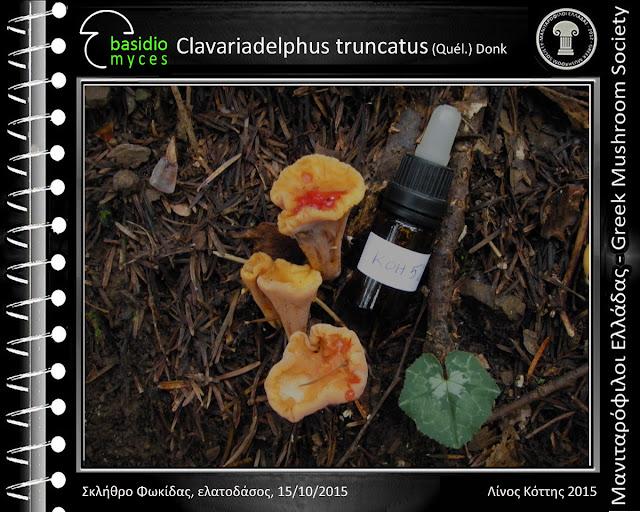 Clavariadelphus truncatus (Quél.) Dοnk