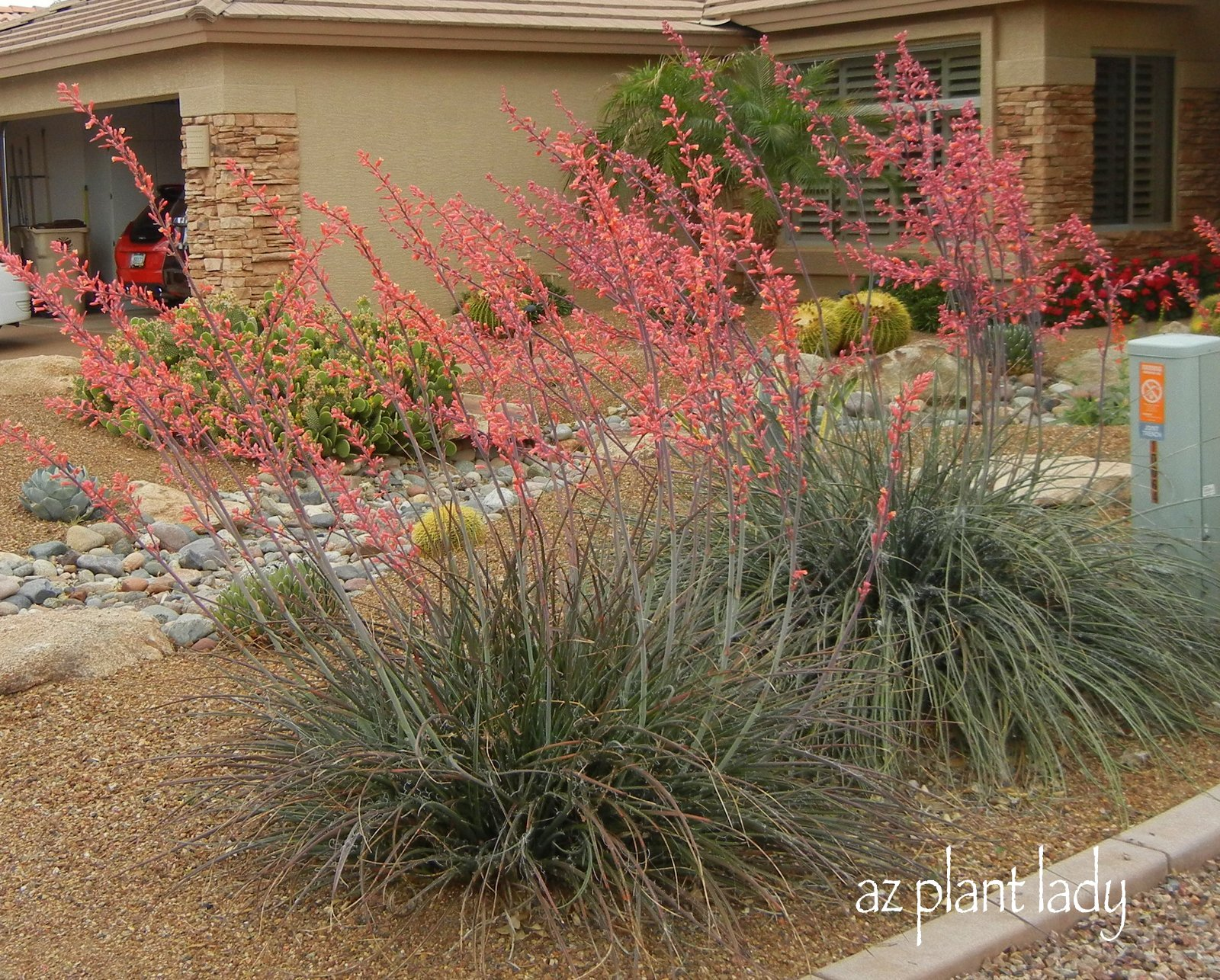 Beautiful low maintenance red yucca ramblings from a for Low maintenance summer plants